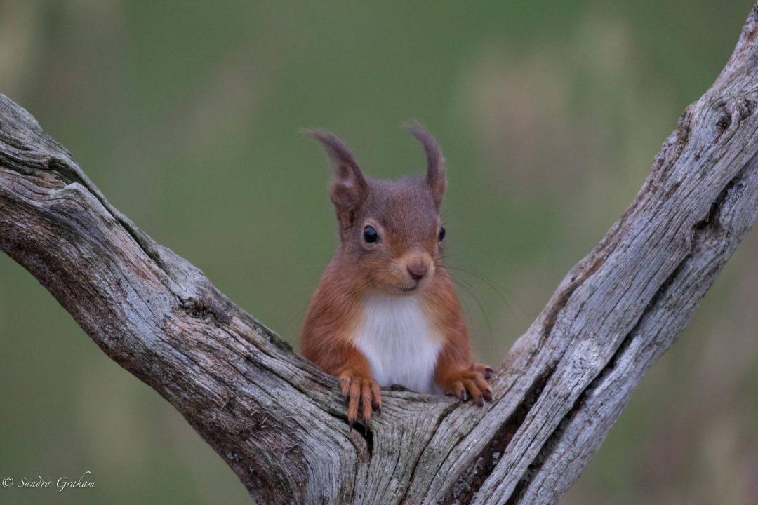 Ardfern Squirrel © Sandra Graham