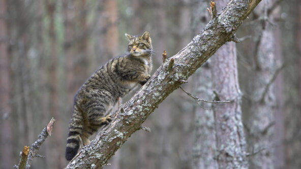 An Introduction to the Saving Wildcats project